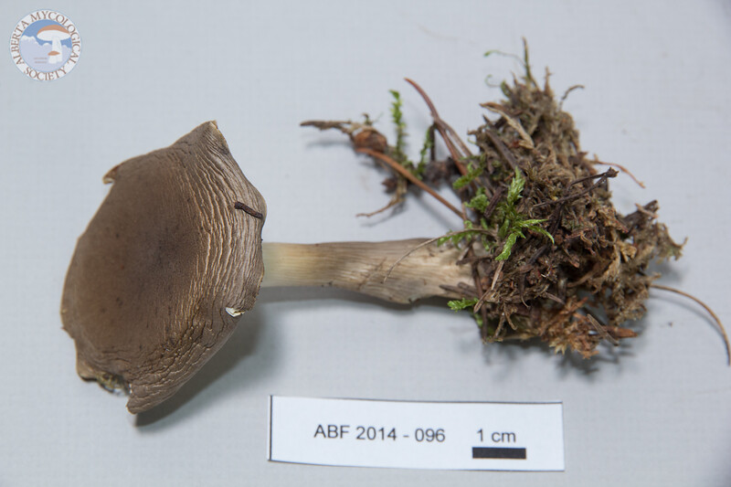 ABF-2014-096 Clitocybe clavipes