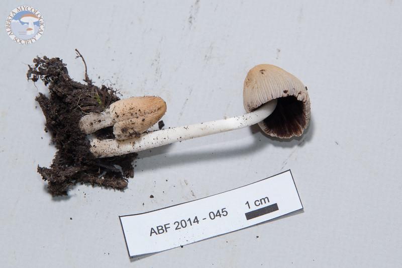 ABF-2014-045 Coprinellus micaceus
