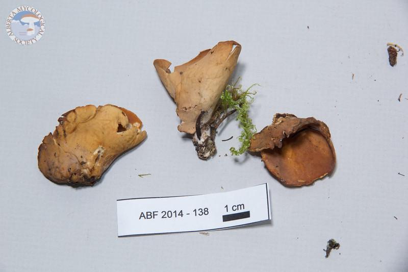 ABF-2014-138 Otidea alutacea