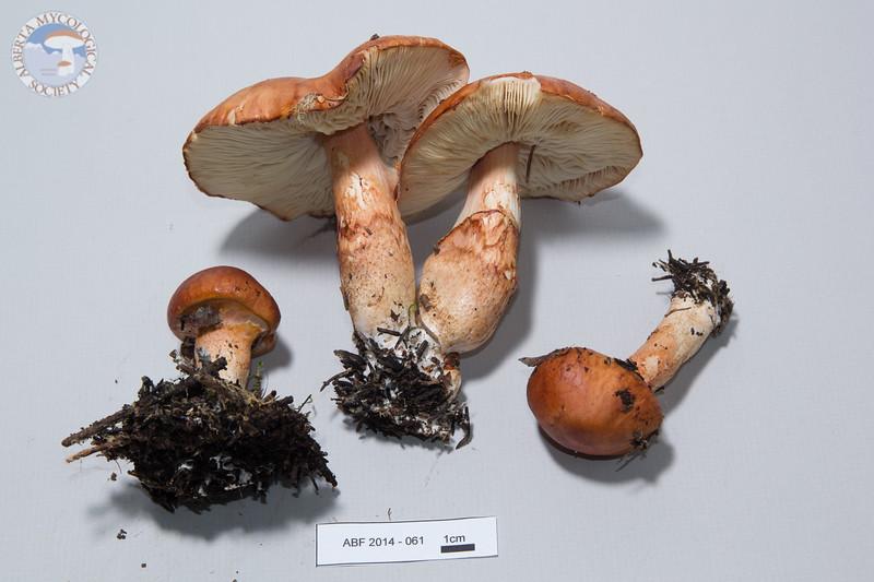 ABF-2014-061 Calocybe  sp.