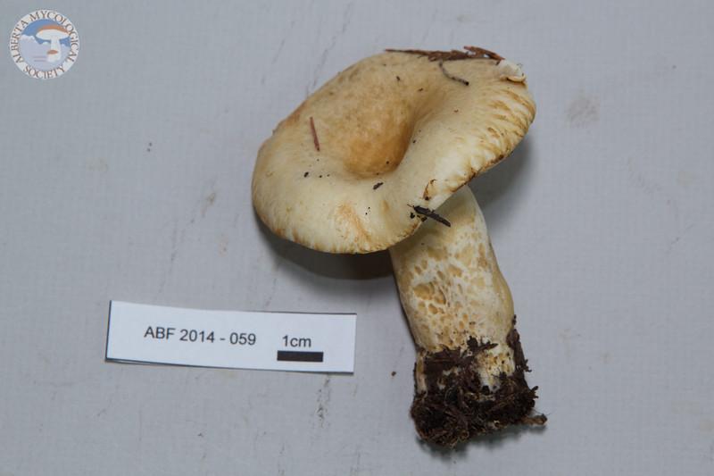 ABF-2014-059 Lactarius scrobiculatus