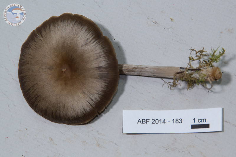 ABF-2014-183 Entoloma strictius