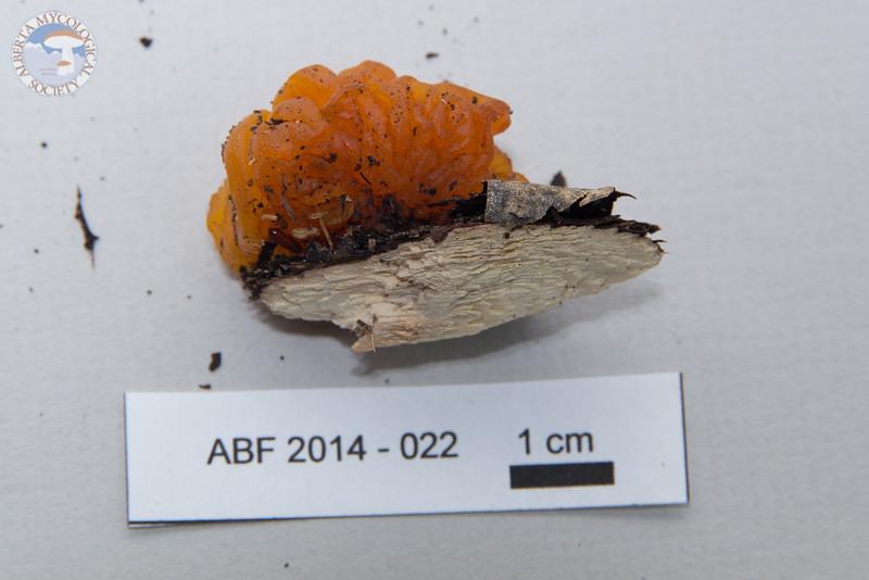 ABF-2014-022 Tremella mesenterica