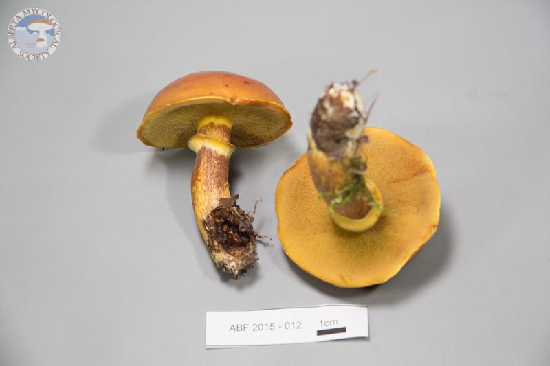 ABF-2015-012 Suillus grevillei