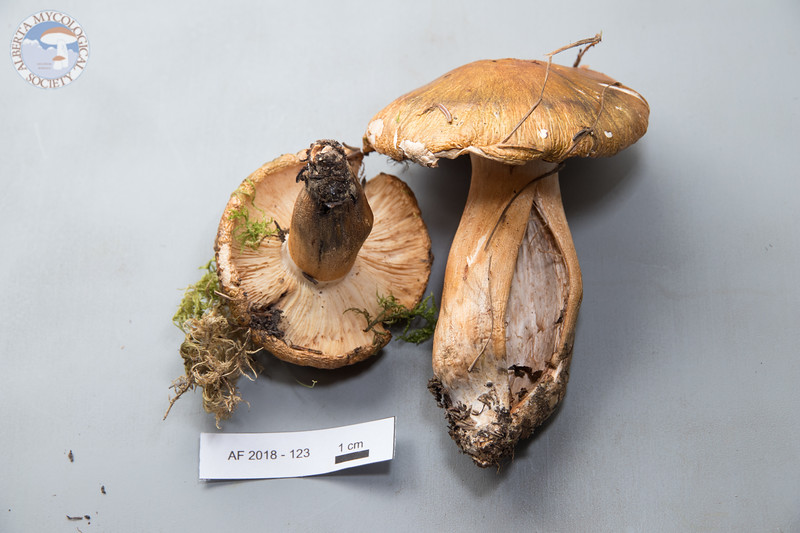 ABF-2018-123 - Tricholoma aurantium var. olivascens