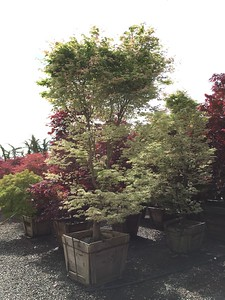 Acer palmatum 'Ukigumo' 3 in #30 box