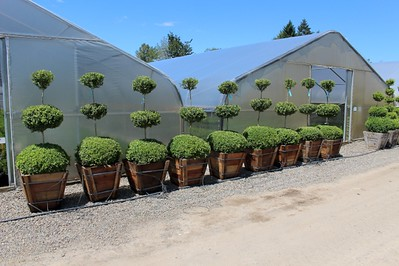 Buxus sempervirens, 3 Ball, Specimen (field grown) 5 ft #24 box
