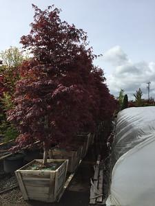 Acer palmatum 'Suminagashi' Park Grade, Specimen, 3 in, #30 box