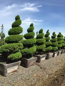 Picea glauca 'Conica' Spiral Specimen 8 ft #36 box