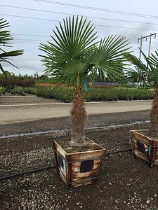 Palm, Trachycarpus fortunei 4ft, #24 box