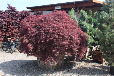Acer pd  'Crimson Queen' 4X, Specimen, 8 ft #36 box