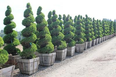 Picea glauca 'Conica' Spiral, Specimen 8 ft #36 box