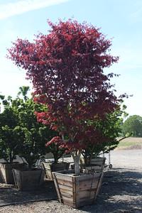 Acer palmatum 'Suminagashi' Specimen 3 5 in #36 box