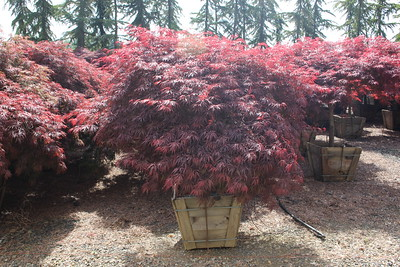 Acer pd  'Tamukeyama', 2X, Specimen 6 ft #24 box