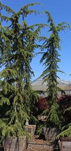 Cedrus libani 'Pendula' Specimen 14 ft #30 box