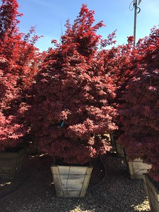 Acer palmatum 'Twombly's Red Sentinel' Specimen 3 in #24 box