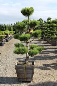 Pinus thunbergii, Poodle, Specimen 6 ft #24 box