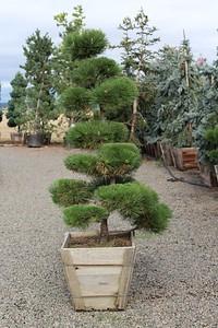 Pinus t  'Thunderhead', Poodle, Specimen 6 ft #24 box (2)