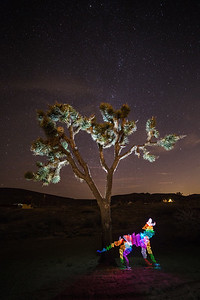 Coyote in Joshua Tree