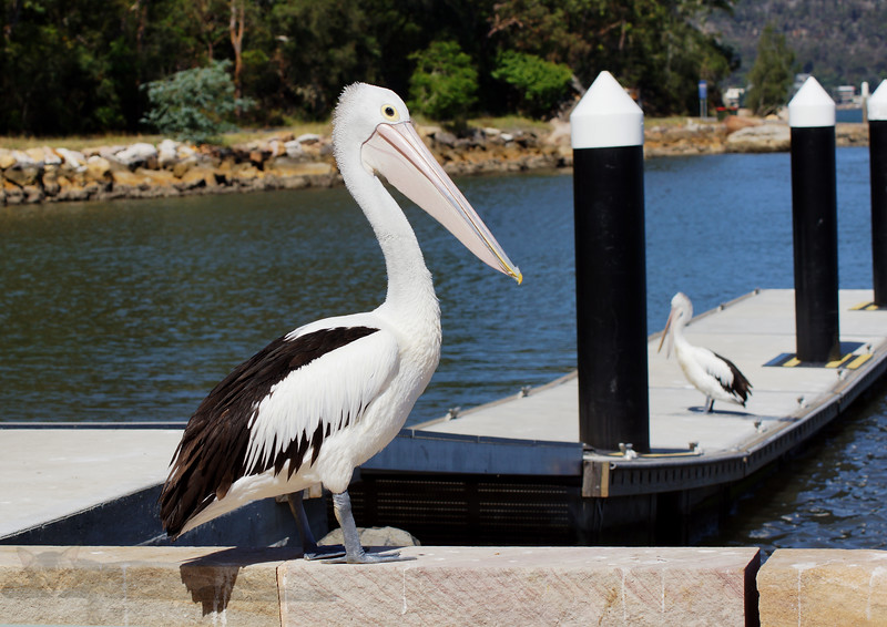 Pelican - Brooklyn - Hawksbury River