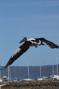 Pelican - Brooklyn - Hawksbury River