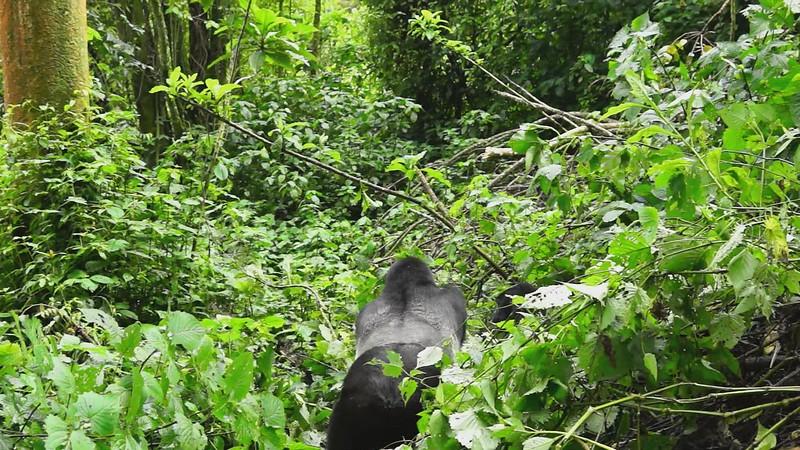 Mountain Gorillas Video