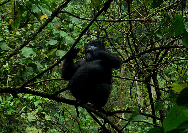Baby Gorilla in a Tree in Bwindi Impenetrable Forest