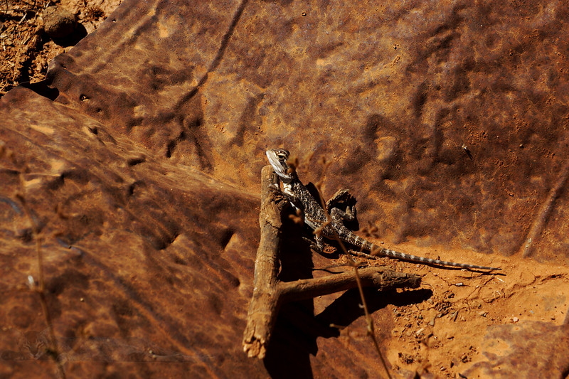 Mine Scrap and Lizard near Broken Hill