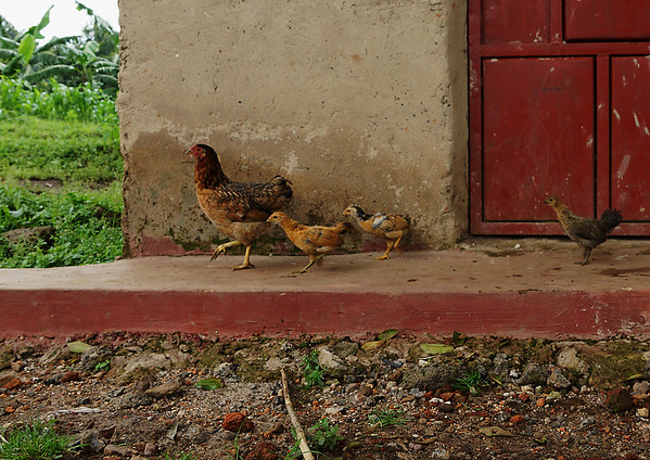 Chckens - Uganda