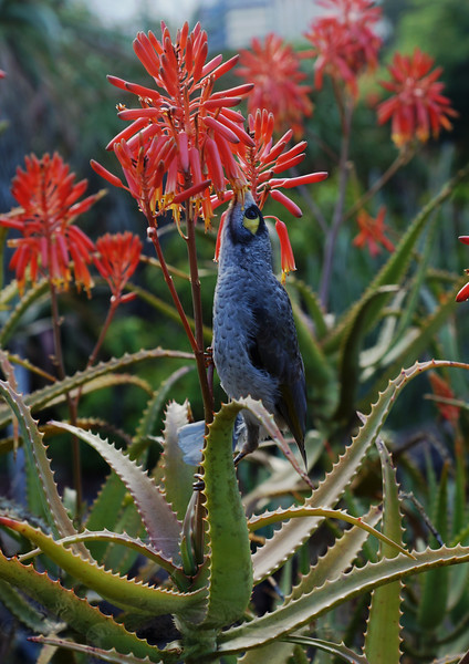 Noisy Miner Bird and Flower