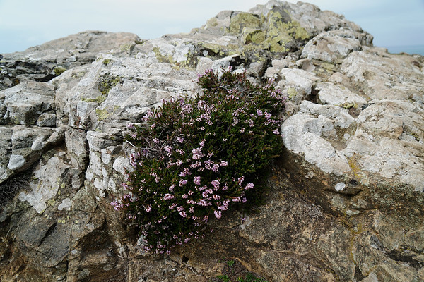 Heather on a Rock
