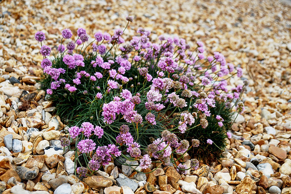 Shoreham by Sea Beach - Flowers