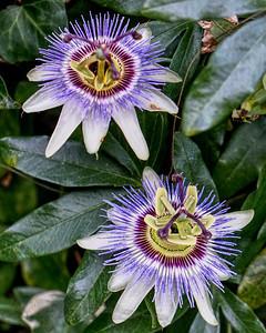 Passion Flowers in Blakesley Walk - 2019