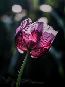 A Poppy in Sunlight