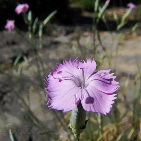 Wild Flower in Lagrasse
