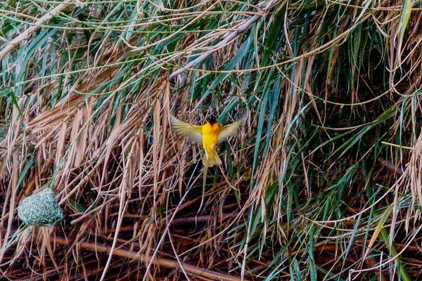 Bird - Southern Masked Weaver Bird in Namibia