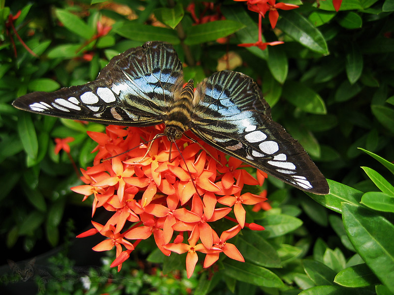 Butterfly in Malaysia