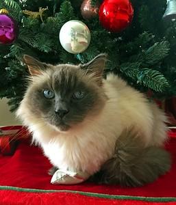 12/21/14: Spencer the Christmas Cat.
