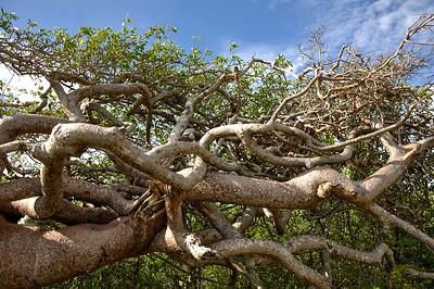 Palu di sia kora, Gum tree