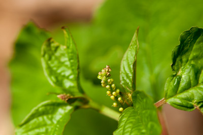 Struik 1 Rivina humilis - Stakamahachi