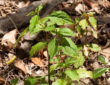 Struik 1 Rivina humilis - Stakamahachi (ID van Andre van Proostdij)