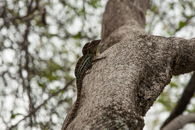 This little Anolis lineatus was all huffy and puffy because there was another Anole male on a near by tree branch