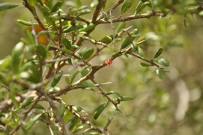 A nasty thorny shrub which has a surprising small flower.