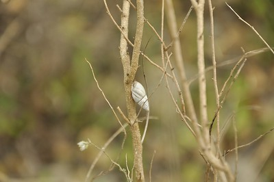 Snail on the shrub yerba di sono....wonder if he/she feels sleepy ?