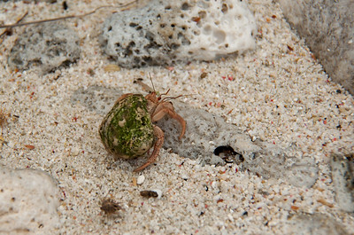 Hermit crabs on Dingobaai prefer green colored shells.