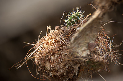 Birds nest hanging over the poss from a prickly pear, hope the young ones were good flyers