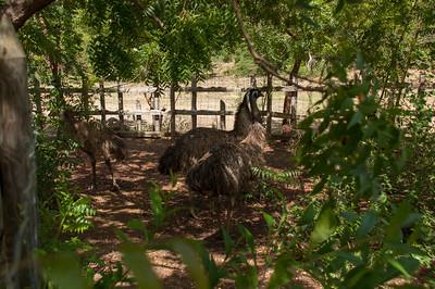 Emus....