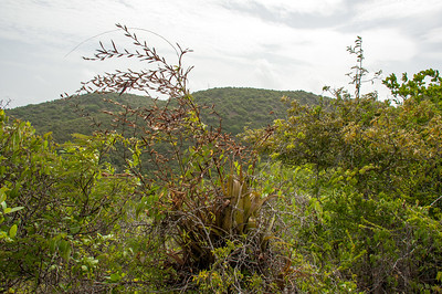 Tillandsia flexuosa p, Teku di palu, bromeliad.
