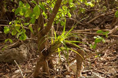 First bromeliad met us, Teku di palu (Tillandsia flexuosa)