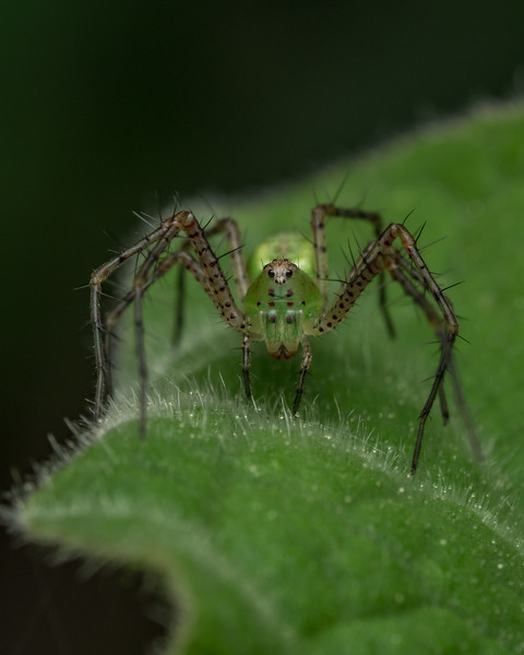 Lynx spider from Archbold Research Station, Florida